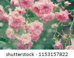pale pink roses close up in the ... | Shutterstock . vector #1153157822