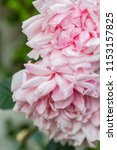 pale pink roses close up in the ... | Shutterstock . vector #1153157825