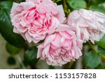 pale pink roses close up in the ... | Shutterstock . vector #1153157828
