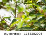 sparrow on the tree  | Shutterstock . vector #1153202005