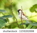 sparrow on the tree  | Shutterstock . vector #1153202008