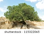 Picture Of A Big Fig Tree In...