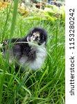 gray little chicken on the... | Shutterstock . vector #1153280242