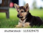 Stock photo german shepherd puppy relaxing on a warm summer day 115329475