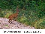roe deer in the act of... | Shutterstock . vector #1153313152