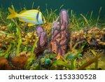 a branching tube sponge covered ...   Shutterstock . vector #1153330528