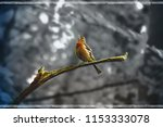 chaffinch singing on a branch | Shutterstock . vector #1153333078