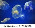 School Of Moon Jellyfish...