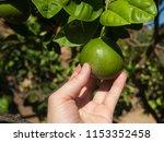 hand picks a green citrus fruit ... | Shutterstock . vector #1153352458