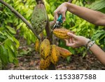 the cocoa tree with fruits.... | Shutterstock . vector #1153387588