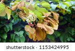 ivy leaves on the garden arch. | Shutterstock . vector #1153424995