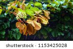 ivy leaves on the garden arch. | Shutterstock . vector #1153425028