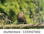 a blackbird with a successful... | Shutterstock . vector #1153427602