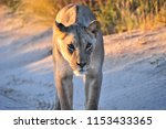 A Single Lioness Stands On A...