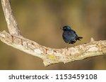 greater blue eared glossy... | Shutterstock . vector #1153459108