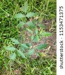 young neem tree  neem is a... | Shutterstock . vector #1153471375