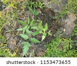 young neem tree  neem is a... | Shutterstock . vector #1153473655