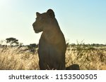 One Isolated Lioness Stands And ...