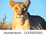 One Isolated Lioness Stands An...