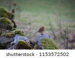 robin red breast | Shutterstock . vector #1153572502