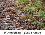 robin red breast | Shutterstock . vector #1153572505