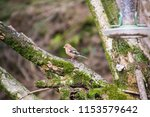 chaffinch posing on a tree | Shutterstock . vector #1153579642