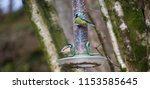 blue tit feeding | Shutterstock . vector #1153585645