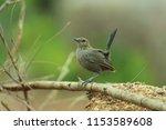 black billed nightingale thrush ... | Shutterstock . vector #1153589608