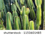 Green Cereus Cactus On Canary...