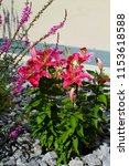 bright pink lilies  bush and...   Shutterstock . vector #1153618588