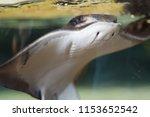Bat Ray At The Aquarium