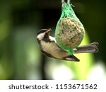 close up of a hungry tit  | Shutterstock . vector #1153671562