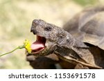 Stock photo captive adult male california desert tortoise eating dandelion marin county california usa 1153691578
