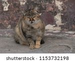 grumpy cat in front of old wall | Shutterstock . vector #1153732198