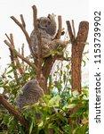 koala in the national park ...   Shutterstock . vector #1153739902