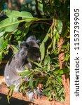 koala in the national park ...   Shutterstock . vector #1153739905