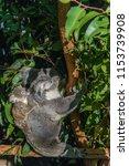 koala in the national park ...   Shutterstock . vector #1153739908