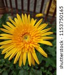 close up of the yellow gerbera... | Shutterstock . vector #1153750165