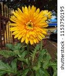close up of the yellow gerbera... | Shutterstock . vector #1153750195