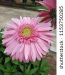 close up of the pink gerbera... | Shutterstock . vector #1153750285