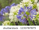 agapanthus or lily of the nile... | Shutterstock . vector #1153787875