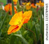 colorful orange poppy in a... | Shutterstock . vector #1153789465