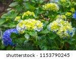 hydrangeas are wonderful  hardy ... | Shutterstock . vector #1153790245