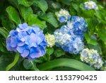 hydrangeas are wonderful  hardy ... | Shutterstock . vector #1153790425
