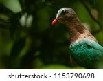the common emerald dove  asian... | Shutterstock . vector #1153790698