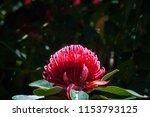 waratah is a native australian... | Shutterstock . vector #1153793125