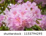 delicate pink clusters of... | Shutterstock . vector #1153794295