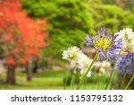 a few purple and white... | Shutterstock . vector #1153795132
