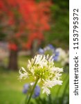 a white agapanthus flower in... | Shutterstock . vector #1153795372