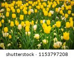 yellow and white tulips in... | Shutterstock . vector #1153797208